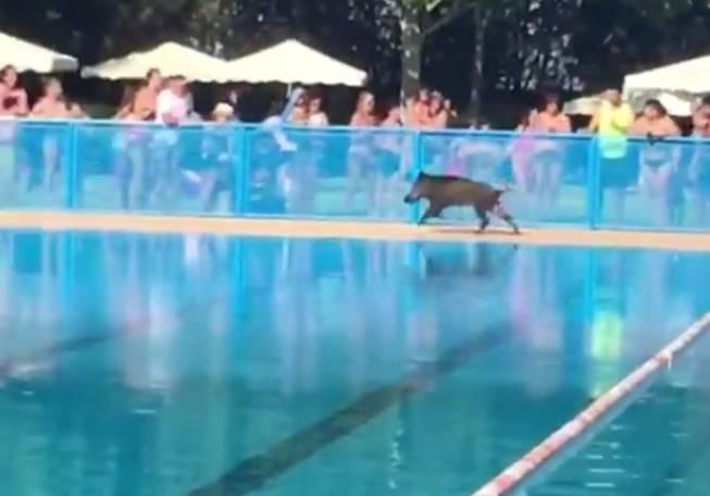 Un jabal se da un chapuz n en la piscina de tomelloso for Piscinas tomelloso