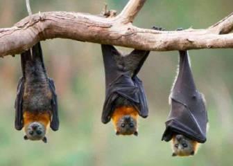 Cientos de nuevos coronavirus en murciélagos de China